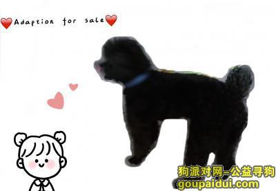 苏州捡到狗,苏州市狮山附近捡到一只纯黑贵宾,它是一只非常可爱的宠物狗狗,希望它早日回家,不要变成流浪狗。