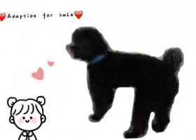 寻狗启示,苏州市狮山附近捡到一只纯黑贵宾,它是一只非常可爱的宠物狗狗,希望它早日回家,不要变成流浪狗。