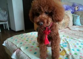 寻狗启示,老南门捡到一只红棕色泰迪,它是一只非常可爱的宠物狗狗,希望它早日回家,不要变成流浪狗。