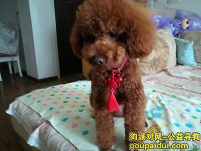 荆州找狗主人,荆州老南门捡到一只红棕色泰迪,它是一只非常可爱的宠物狗狗,希望它早日回家,不要变成流浪狗。