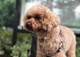 寻狗启示,高新区 62中学附近 车城西区 走丢一只公泰迪,它是一只非常可爱的宠物狗狗,希望它早日回家,不要变成流浪狗。