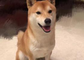 寻狗启示,找寻爱犬,请好心人帮助!,它是一只非常可爱的宠物狗狗,希望它早日回家,不要变成流浪狗。
