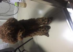 寻狗启示,海珠区滨江东海珠半岛捡到一只贵宾犬仔仔,它是一只非常可爱的宠物狗狗,希望它早日回家,不要变成流浪狗。