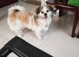 寻狗启示,希望看到的朋友留住狗狗联系我,它是一只非常可爱的宠物狗狗,希望它早日回家,不要变成流浪狗。