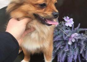 寻狗启示,寻狗启示蝴蝶犬在小溪塔金狮宾馆附近走失,它是一只非常可爱的宠物狗狗,希望它早日回家,不要变成流浪狗。