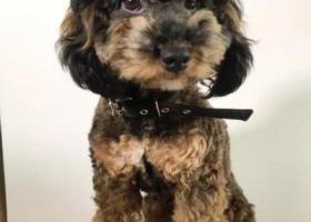 寻狗启示,雪耐瑞和泰迪串串。一看特别像泰迪。很特别的一只狗仔,它是一只非常可爱的宠物狗狗,希望它早日回家,不要变成流浪狗。