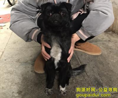 枣庄找狗,枣庄市市中区文化西路文化广场寻找丢失的小黑狗,它是一只非常可爱的宠物狗狗,希望它早日回家,不要变成流浪狗。
