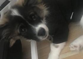 寻狗启示,找一条串串狗从小的感情没注意跑了,它是一只非常可爱的宠物狗狗,希望它早日回家,不要变成流浪狗。