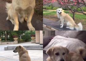 青岛市市南区珠海支路酬谢八千元寻找 田园犬