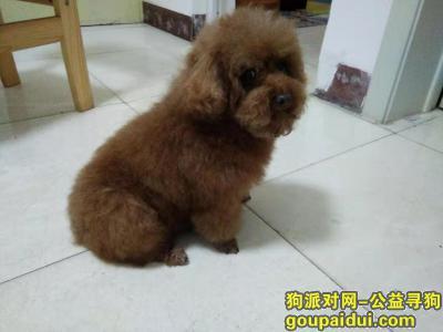 枣庄寻狗网,寻找丢失泰迪狗(棕色),它是一只非常可爱的宠物狗狗,希望它早日回家,不要变成流浪狗。