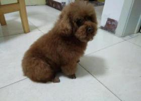 寻狗启示,寻找丢失泰迪狗(棕色),它是一只非常可爱的宠物狗狗,希望它早日回家,不要变成流浪狗。