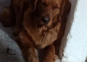 寻狗启示,石桥铺白马凼支路捡到金毛一只,它是一只非常可爱的宠物狗狗,希望它早日回家,不要变成流浪狗。