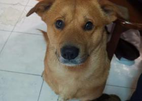 寻狗启示,苏州中华田园犬在杨枝新村丢失,它是一只非常可爱的宠物狗狗,希望它早日回家,不要变成流浪狗。