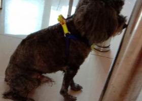寻狗启示,捡到灰色泰迪一只公狗,它是一只非常可爱的宠物狗狗,希望它早日回家,不要变成流浪狗。