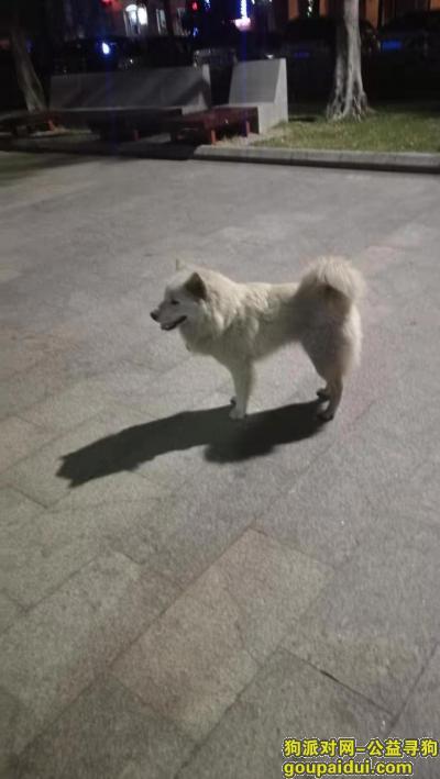 佛山寻狗主人,亚艺公园流浪萨摩耶,从春节前至今一直在附近流浪,它是一只非常可爱的宠物狗狗,希望它早日回家,不要变成流浪狗。