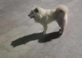 寻狗启示,亚艺公园流浪萨摩耶,从春节前至今一直在附近流浪,它是一只非常可爱的宠物狗狗,希望它早日回家,不要变成流浪狗。