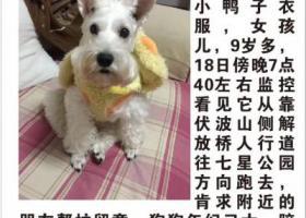 白色雪纳瑞女孩,广西桂林秀峰区