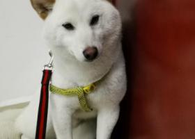 寻狗启示,白色柴犬寻找主人86082800,它是一只非常可爱的宠物狗狗,希望它早日回家,不要变成流浪狗。