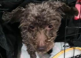 寻狗启示,丢失一只灰色泰迪,瑶海区新安江路土山路附近,它是一只非常可爱的宠物狗狗,希望它早日回家,不要变成流浪狗。