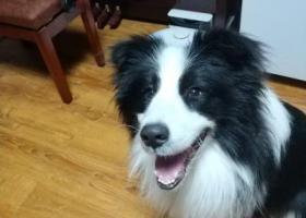 寻狗启示,冉家坝附近丢失一只边牧,盼归,它是一只非常可爱的宠物狗狗,希望它早日回家,不要变成流浪狗。