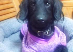 寻狗启示,黑色贵宾串串3月19日清晨在金陵小区走失,捡到有酬谢,它是一只非常可爱的宠物狗狗,希望它早日回家,不要变成流浪狗。