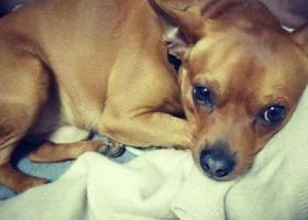 寻狗启示,寻找丢失的爱宠小鹿犬,它是一只非常可爱的宠物狗狗,希望它早日回家,不要变成流浪狗。