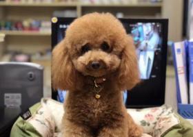 寻狗启示,寻找泰迪 母犬 杏色 名叫三宝,它是一只非常可爱的宠物狗狗,希望它早日回家,不要变成流浪狗。