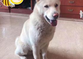 寻狗启示,寻找爱犬-三乡镇大布村丢失的 名字叫包仔 中华田园犬,它是一只非常可爱的宠物狗狗,希望它早日回家,不要变成流浪狗。