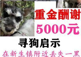 寻狗启示,桐乡市 新生镇新生路酬谢5000元寻找两只雪纳瑞,它是一只非常可爱的宠物狗狗,希望它早日回家,不要变成流浪狗。