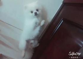 寻狗启示,我的可爱博美球球,它是一只非常可爱的宠物狗狗,希望它早日回家,不要变成流浪狗。