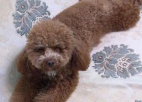 寻狗启示,泰迪母犬朝天门走失胸前有一撮白毛毛。刚剪过毛。,它是一只非常可爱的宠物狗狗,希望它早日回家,不要变成流浪狗。