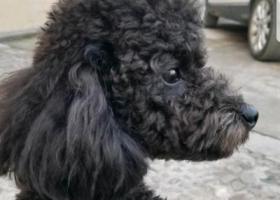 寻狗启示,miumiu黑色公泰迪,它是一只非常可爱的宠物狗狗,希望它早日回家,不要变成流浪狗。
