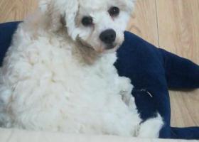 寻狗启示,白色比熊,未修毛,腿上有伤,它是一只非常可爱的宠物狗狗,希望它早日回家,不要变成流浪狗。