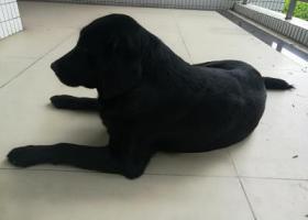 寻狗启示,广东金融学院校园内,发现的黑色的拉布拉多狗狗,它是一只非常可爱的宠物狗狗,希望它早日回家,不要变成流浪狗。