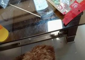 寻狗启示,2019年3月22日丢失一只棕色泰迪,它是一只非常可爱的宠物狗狗,希望它早日回家,不要变成流浪狗。