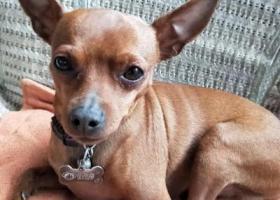 寻狗启示,急寻我家爱犬小不点,棕黄色雄性小鹿犬,它是一只非常可爱的宠物狗狗,希望它早日回家,不要变成流浪狗。