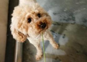 寻狗启示,寻狗启示急 必有重谢,它是一只非常可爱的宠物狗狗,希望它早日回家,不要变成流浪狗。