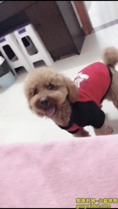 ,寻找陪伴多年爱犬红棕色泰迪,它是一只非常可爱的宠物狗狗,希望它早日回家,不要变成流浪狗。