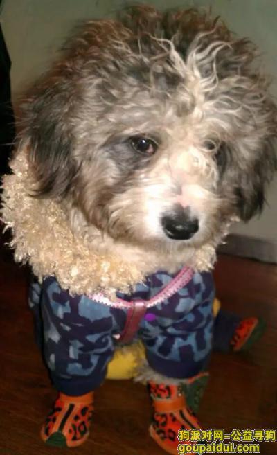 寻狗启示,北京市西城新街口雪纳瑞串串,它是一只非常可爱的宠物狗狗,希望它早日回家,不要变成流浪狗。