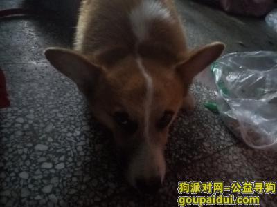 荆州捡到狗,荆州北门广场捡到柯基一只,它是一只非常可爱的宠物狗狗,希望它早日回家,不要变成流浪狗。