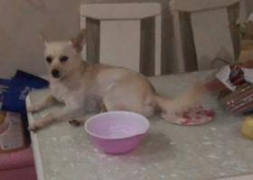 寻狗启示,急急急,有偿寻找白色小狗,它是一只非常可爱的宠物狗狗,希望它早日回家,不要变成流浪狗。
