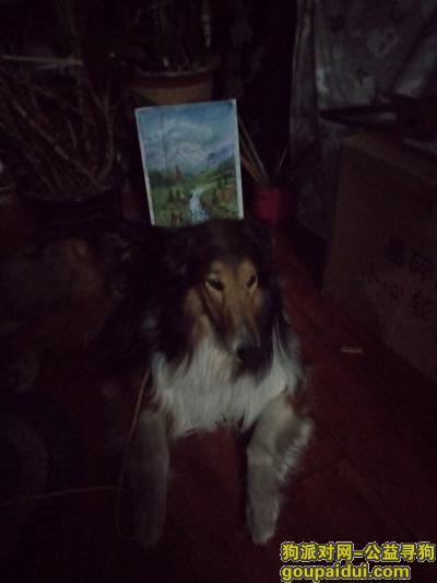 大连找狗主人,捡到一条牧羊犬,见帖速联系。,它是一只非常可爱的宠物狗狗,希望它早日回家,不要变成流浪狗。