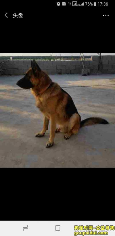 威海找狗,威海寻德牧。在汪疃附近走失,它是一只非常可爱的宠物狗狗,希望它早日回家,不要变成流浪狗。