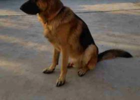 寻狗启示,威海寻德牧。在汪疃附近走失,它是一只非常可爱的宠物狗狗,希望它早日回家,不要变成流浪狗。