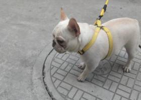 寻狗启示,3 24走丢。奶油色希望好心人看到后联系,它是一只非常可爱的宠物狗狗,希望它早日回家,不要变成流浪狗。