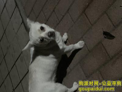 深圳捡到狗,宝安裕安花园有一只走失的白色小母狗,它是一只非常可爱的宠物狗狗,希望它早日回家,不要变成流浪狗。