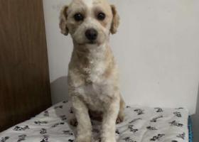 寻狗启示,五角场万达广场捡到一只泰迪狗mm,它是一只非常可爱的宠物狗狗,希望它早日回家,不要变成流浪狗。