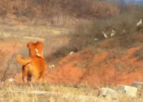 寻狗启示,寻找爱犬,养了4年的串串,黄色公狗,它是一只非常可爱的宠物狗狗,希望它早日回家,不要变成流浪狗。