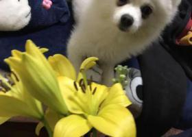 寻狗启示,株洲寻找爱犬白色博美,它是一只非常可爱的宠物狗狗,希望它早日回家,不要变成流浪狗。