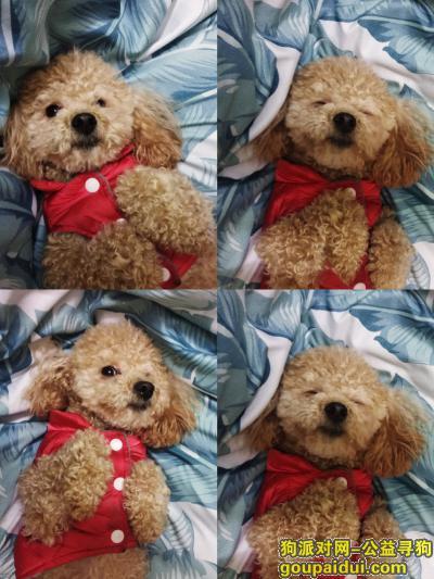 韶关寻狗,求求好心人看见糖宝的给我打个电话吧!,它是一只非常可爱的宠物狗狗,希望它早日回家,不要变成流浪狗。